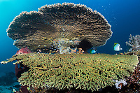 Giant Table Corals and Butterflyfish<br /> <br /> Shot in Indonesia