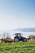 Farmers using a tractor to harvest and pick Jersey Royal New Potatoes in a field with views out to the sea and Archirondel