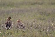 Two Steppe Eagle, Aquila nipalensis, Bayanbulagu Gatcha, sitting on ground at grassland steppe, Inner Mongolia, China