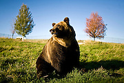 Bears are allowed to roam and forage in the 2.2 acre exercise yard connected to the Bear Research Center on the campus of Washington State University in Pullman, Wash. ..(Matt Mills McKnight for The Wall Street Journal)