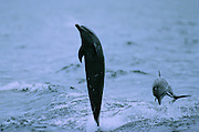 """Dolphin following boat near Coiba Island, Panama - the former penal colony is now  a """"permit only"""" area to visit and explore. In 2005 it became a UNESCO World Heritage Site due to its remarkable proliferance of rare corals and abundance of marine life."""