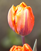 Tulips (Mike Siegel / The Seattle Times)