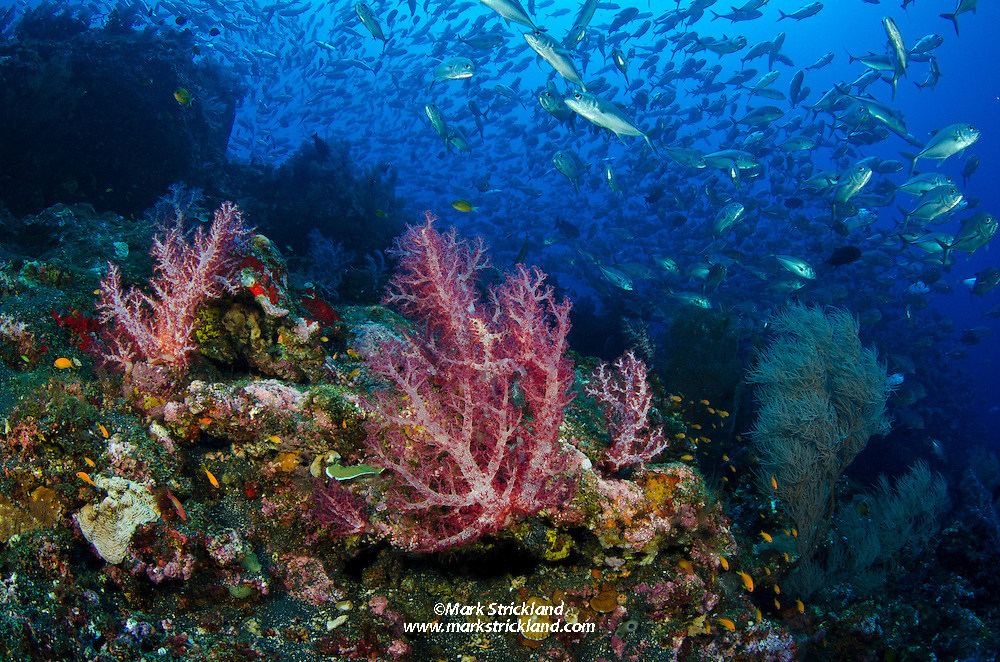 A school of Bigeye Trevally, Caranx sexfasciatus, hover beyond lush colonies of soft coral, surrounded by dark volcanic substrate. Black Magic, Barren Island, Andaman Islands, India, Andaman Sea