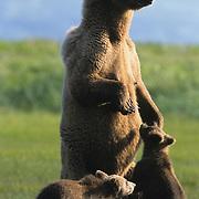 Alaskan Brown Bear (Ursus middendorffi) mother standing up with her cubs near her side. Katmai National Park, Alaska