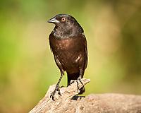 Bronzed Cowbird (Molothrus aeneus). Campos Viejos, Texas. Image taken with a Nikon D800 camera and 400 mm f/2.8 lens.