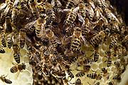Honey bee (Apis mellifera), Kiel, Germany | Die Honigbienen (Apis mellifera) sitzen auf einem Naturwabenbau. Was bedeutet, sie haben die Wabe frei gebaut ohne beeinflussung des Imkers.  Kiel, Deutschland