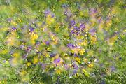 "Multiple exposure photo of blooming Wood Cow-wheat (Melampyrum nemorosum) in summer meadow, nature park ""Kuja"", Latvia Ⓒ Davis Ulands   davisulands.com"