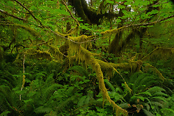 Big Leaf Maple, Epiphytes and Ferns in the Temperate Rainforest of the Lower Queets Valley, Olympic National Park, Washington, US