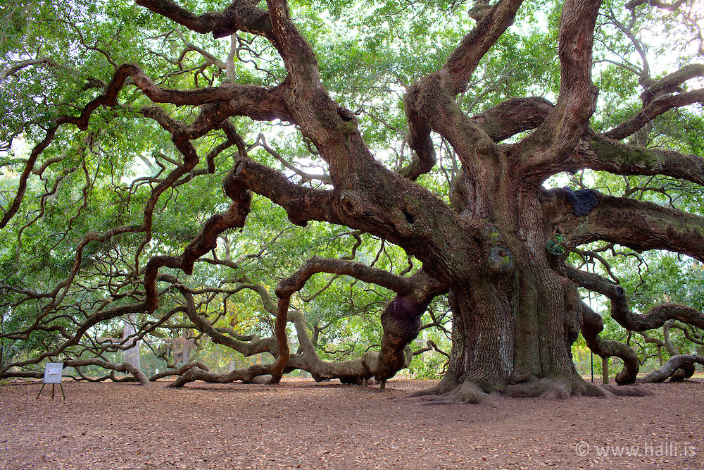Old tree, Angel oak tree, at Angel old road in Charleston, US - Gamalt eikartré, Angel Oak