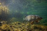 Pike (Esox lucius), in fishpond, Switzerland<br /> Hecht (Esox lucius), in Fischteich, Schweiz<br /> Brochet (Esox lucius), en étang de poisson, Suisse<br /> 25-02-2009