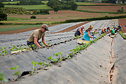Male and female workers planting strawberries outdoors in rows, Riverford Organics farm, Totnes, Devon, UK food industry