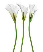 False color x-ray of Calla Lily (Zantedeschia aethiopica).
