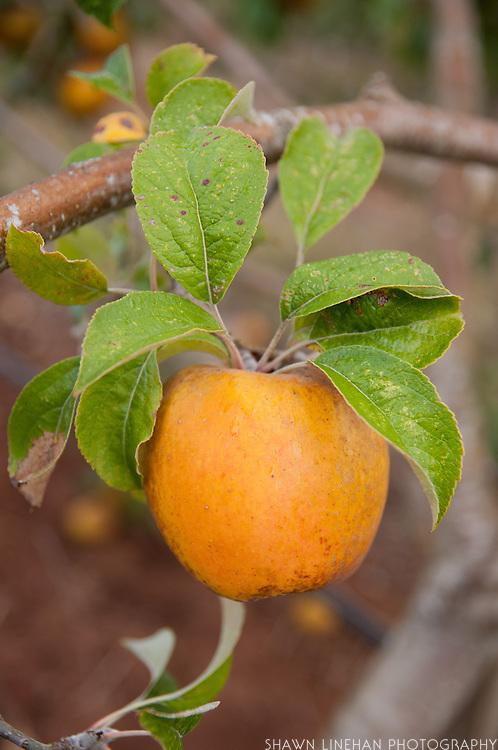 Heirloom apple used in making cider at Wandering Aengus Cidery in Salem, Oregon