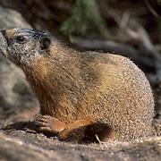 Hoary Marmot, (Marmota caligata)  Glacier National Park. Montana.