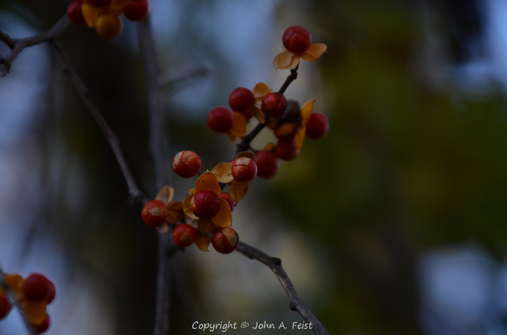 These berries holding out to feed the birds into the winter.  Hillsborough, NJ