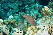 hunting coalition of whitemouth moray, Gymnothorax meleagris, and blue goatfish, yellowsaddle goatfish, or moano ukali ulua, Parupeneus cyclostomus, Makako Bay (aka Garden Eel Cove ), Keahole, Kona, Hawaii ( the Big Island ), USA ( Central Pacific Ocean )