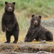 Brown Bear (Ursus arctos middendorffi) yearling cubs on a salmon stream fishing. Alaska