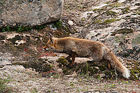 Red Fox (Vulpes vulpes).Sierra de Andújar Natural Park, Mediterranean woodland of Sierra Morena, north east Jaén Province, Andalusia. SPAIN..Mission: Iberian Lynx, May 2009