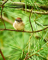 Chipping Sparrow. Sourland Mountain Preserve. Image taken with a Nikon D300 camera and 80-400 mm lens.