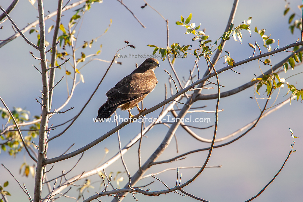 Common buzzard (Buteo buteo) Perched on a tree. This bird of prey is found throughout Europe and parts of Asia, inhabiting open areas, such as farmland and moors, and wooded hills. It grows up to 50 centimetres in length and feeds on small birds, mammals and carrion. Photographed in Israel in January.