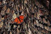 Monarch butterflies clustered on the side of a tree at Site Alpha, near Rosario, Mexico.