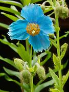 Himalayan Blue Poppy, Meconopsis betonicifolia, blooming in Randi and Fred Hirschmann's perennial garden, Matanuska Valley, Alaska.
