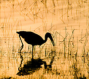 Asian openbill (Anastomus oscitans) searching for food in tadoba NP, India.