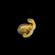 An unknown species of octopus in the Sargasso Sea off Bermuda, Atlantic Ocean.