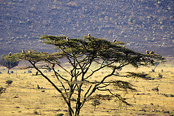Vultures  In Acacia Tree