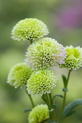 Chrysanthemum 'Froggy'