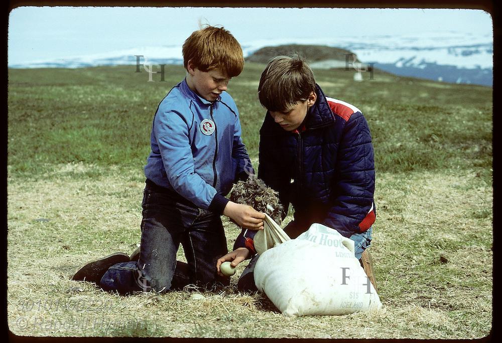 Boy stuffs eiderdown into sack as friend pulls an egg off nest for dinner on Vigur Island, June Iceland
