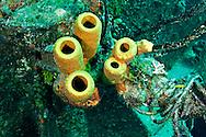 Yellow Tube Sponge, Aplysina fistularia, Grand Cayman