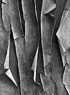 monochrome high contrast Madrona (Arbutus menziesii)bark peeling