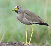 An African wattled lapwing, Senegal wattled plover or wattled lapwing (Vanellus senegallus). Serengeti National Park, Tanzania.