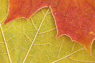Maple leaves, Acer platanoides, Sweden