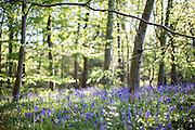 Bluebells shot at f/1.2 in Lane Woods, Little Chalfont, Bucks