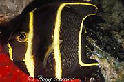 French angelfish, Pomacanthus paru, juvenile<br /> Frederickstaad Pier,<br /> St Croix, U.S. Virgin Islands ( Caribbean Sea )