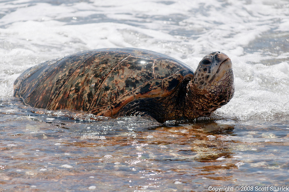 A Hawaiian Green Sea Turtle lifts its head out of the water.