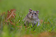close up and selective focus of a Djungarian hamster (Phodopus sungorus), also known as the Siberian hamster, on lawn. Photographed in Israel in July