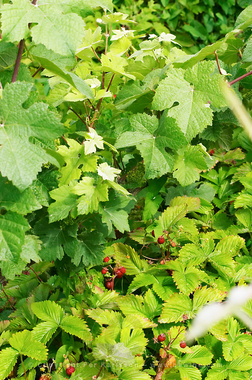In the vineyard behind the house in the garden: between the rows of vines there are some wild strawberries strawberry, Champagne Jacquesson in Dizy, Vallee de la Marne, Champagne, Marne, Ardennes, France, low light grainy grain