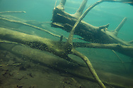 Largemouth Bass Fry<br /> <br /> Christopher Morey/Engbretson Underwater Photography