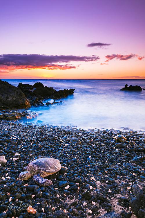 Hawaiian green sea turtle on a lava beach at sunset, Kohala Coast, The Big Island, Hawaii USA