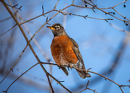 Cheerful Robin Redbreast, basking in midmorning sun on a late winter day. One among a flock of robins near a UW-Madison Arboretum stream, eager spring. Photo taken Feb. 28, 2020.