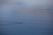 A family of whooper swans glide past in the fjord below.