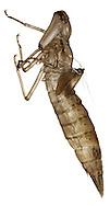 Emperor Dragonfly Exuvia - Anax imperator