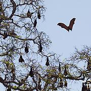 Madagascan flying fox (Pteropus rufus), Berenty Reserve, Madagascar.