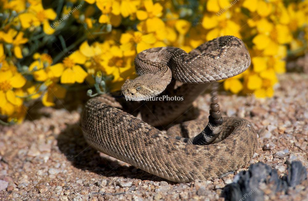 Western Diamondback Rattlesnake (Crotalus atrox}  in defensive striking position in front of blooming Brittlebush (Encelia farinosa). Sonoran Desert, Arizona