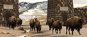 Bison migrate through the North Entrance of Yellowstone National Park.