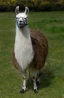 """Llama Lama named """"Quinault"""" poses in her pasture"""