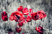Double exposure of poppy blossoms - manipulated photograph